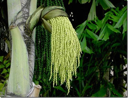 Dreadlock Caribbean Plant :D