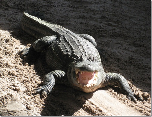 Hissing Alligator